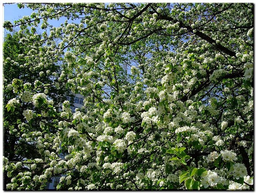Цветущая яблоня в сквере у Госпрома