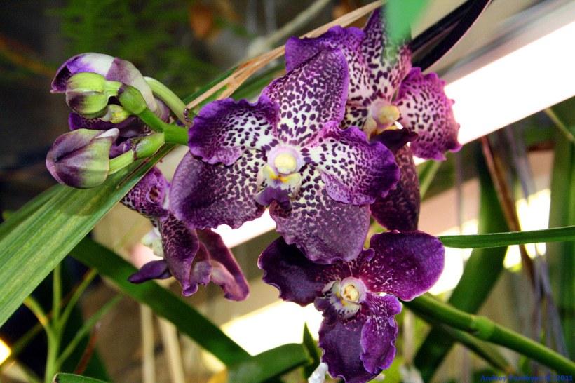 Ванда синяя цветок фото
