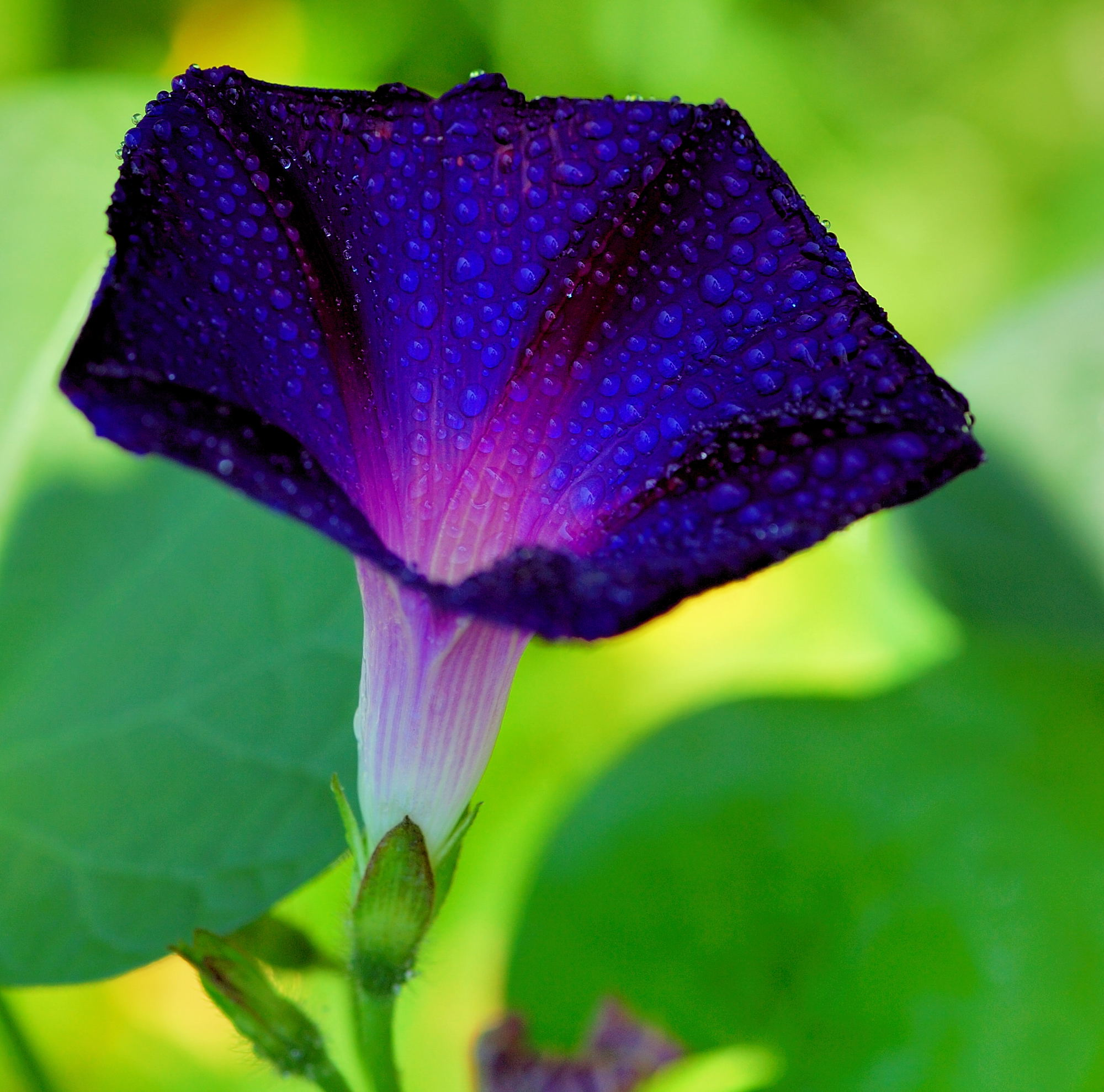 Ипомея фиолетовая фото цветов