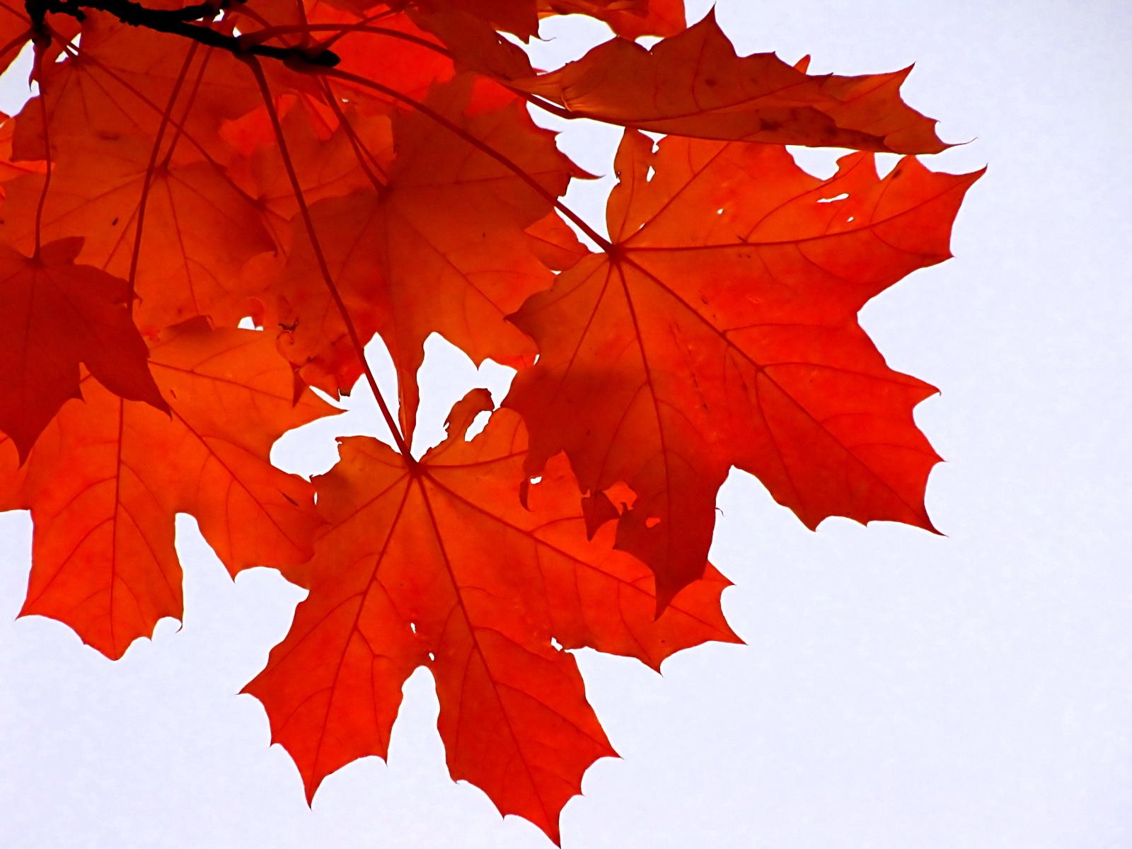 Фото листья деревьев клена крупным планом 5