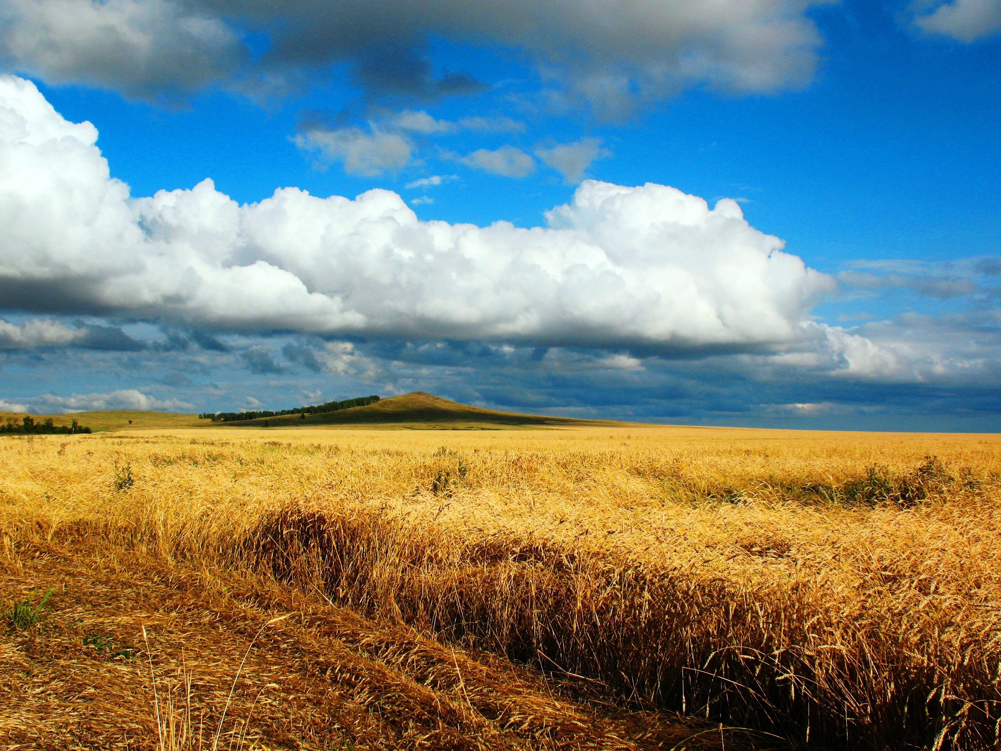 Обои колосья сбор урожая поле