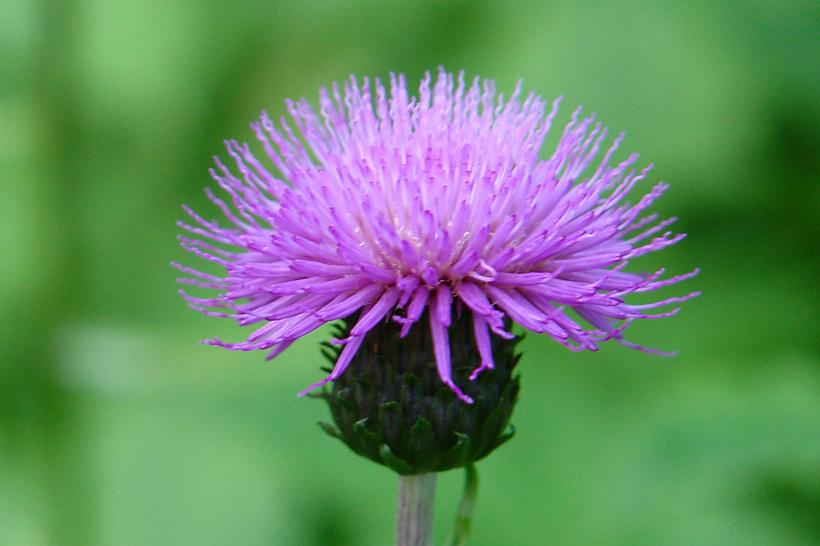 Репейника цветы