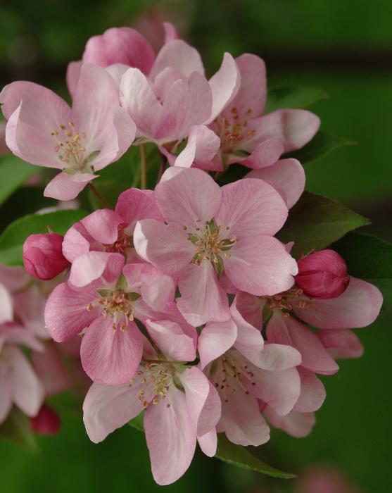 Яблоня с розовыми цветами фото
