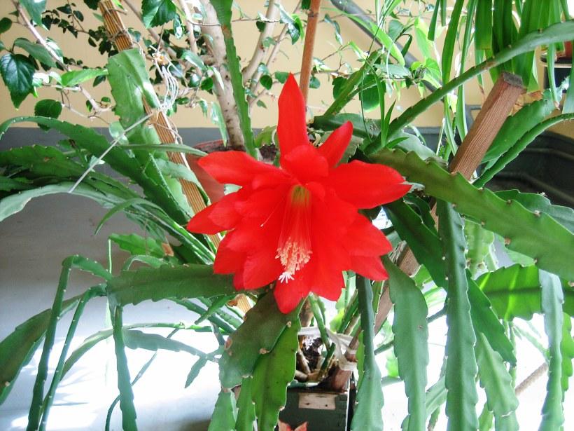 Домашние цветы семейства кактусовых