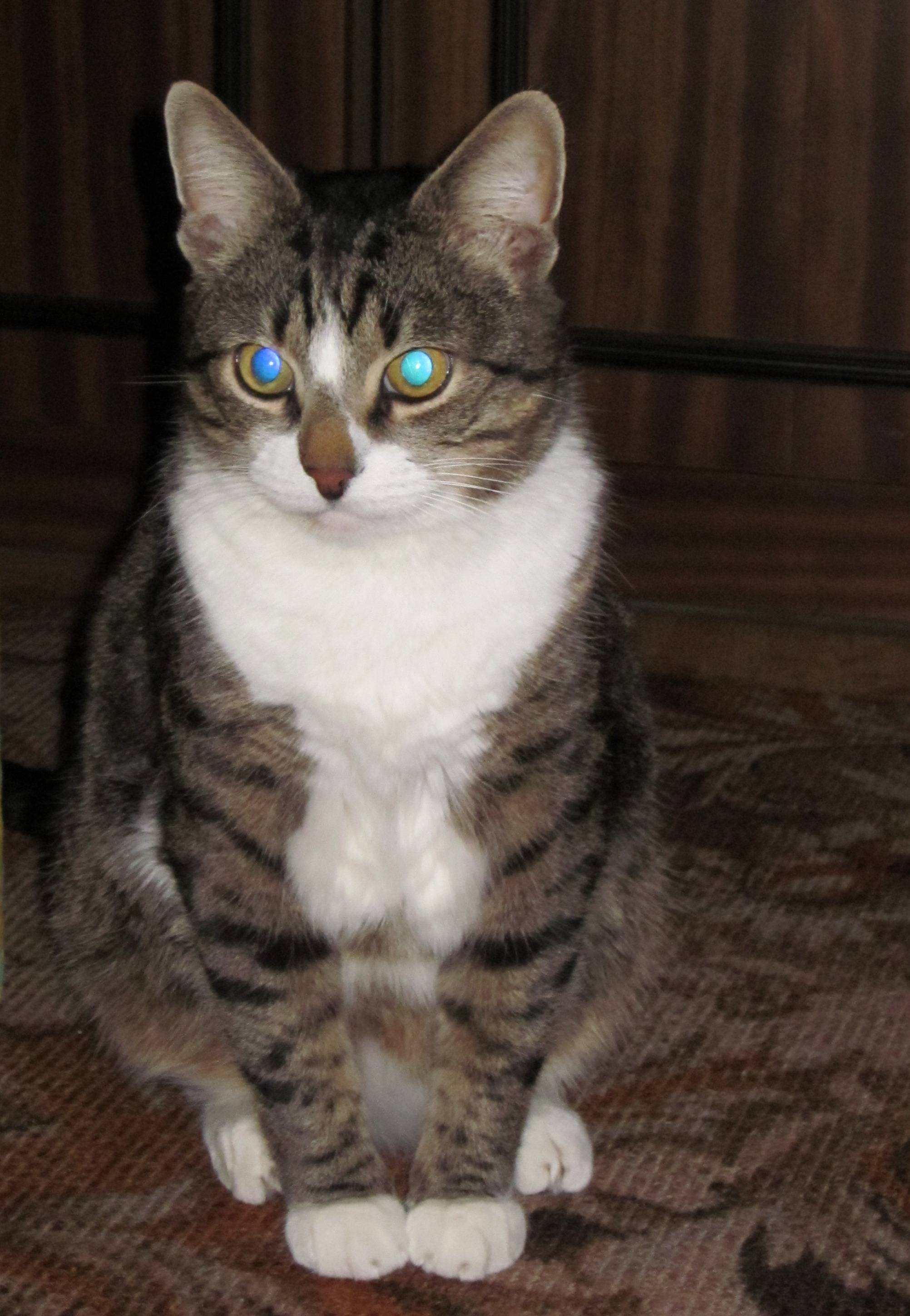 Кот средней пушистости