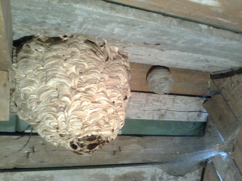 Как избавиться от шершней под крышей в домашних условиях 99
